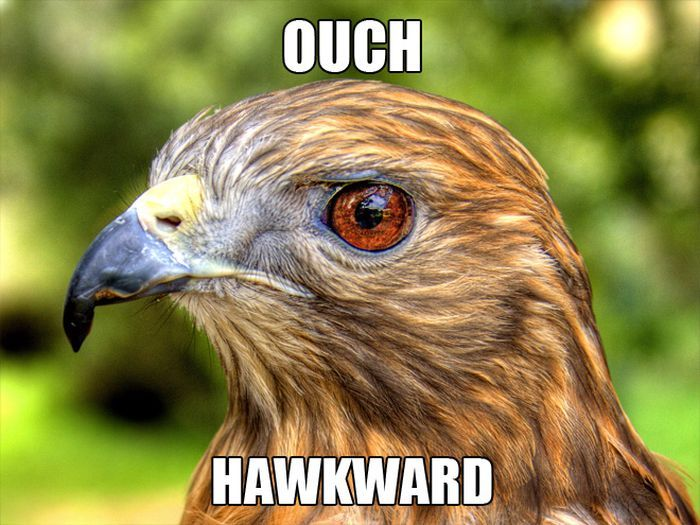 Hawkward #hawk #meme #animalmeme #wildlifememe | Safarious ...