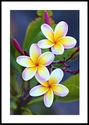 Backyard Plumeria Plumeria Flowers Flowers Photography Flower Pictures