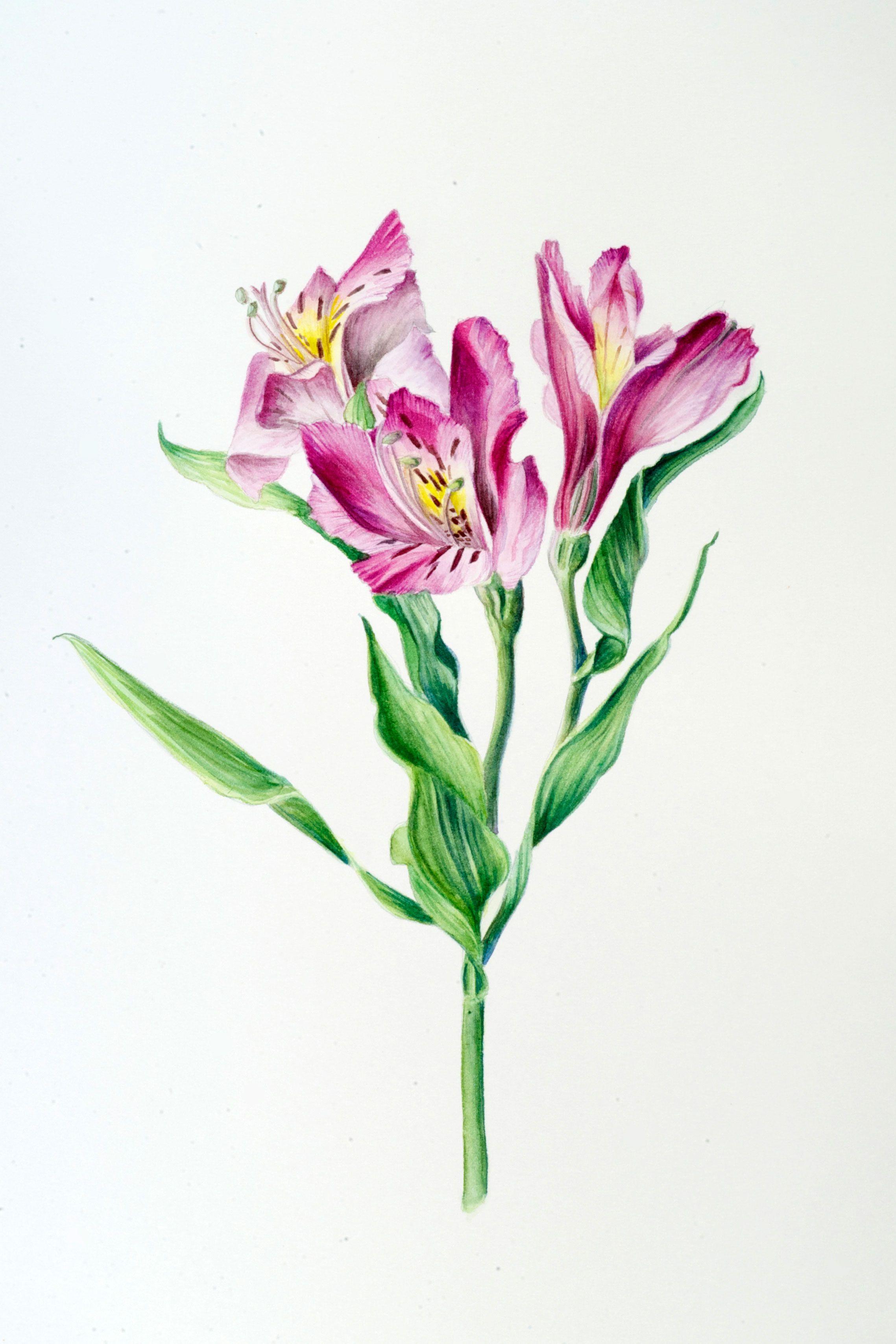Alstroemeria 11 X 14 Watercolor Pencil C 2012 Flower Painting Alstroemeria Flower Art