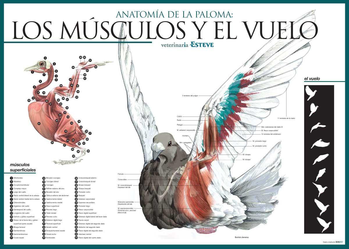 Los Musculos Y El Vuelo Pigeon Muscles Diagram Dove And Bird Heart