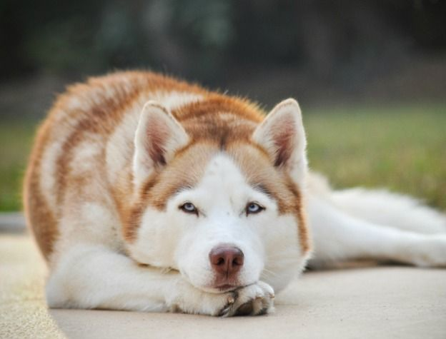 Siberian Husky Training Tips To Be Obedient Husky Puppy