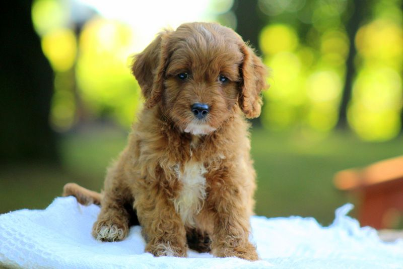 Kevin Keeshond Puppy For Sale in Pennsylvania Cavapoo