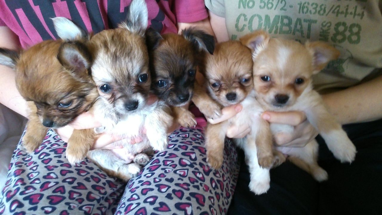 Long Haired Chihuahua Puppies For Sale Long Haired Chihuahua