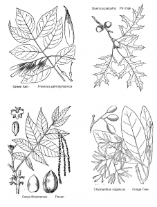 link to some tree leaf coloring pages | Homeschool botany | Tree id ...