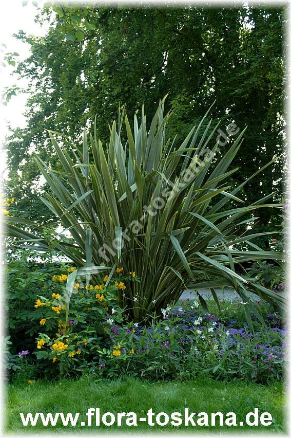 Phormium Tenax Neuseelander Flachs Pflanzen Kubelpflanzen Pflanzenwelt