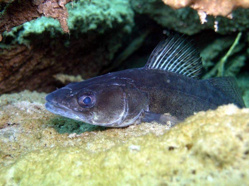 Картинка рыбка судак отзывы