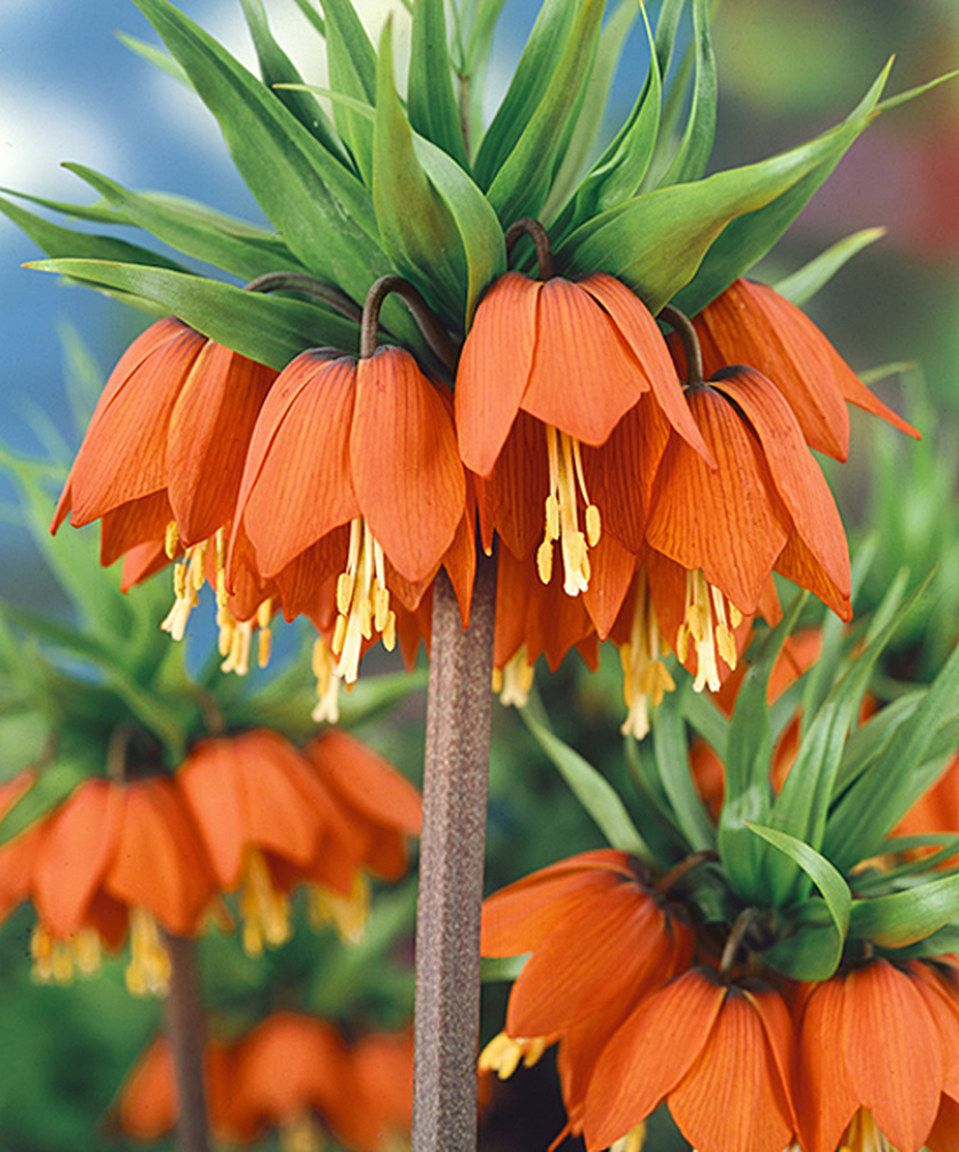 Another great find on zulily! Dormant Crown Imperial