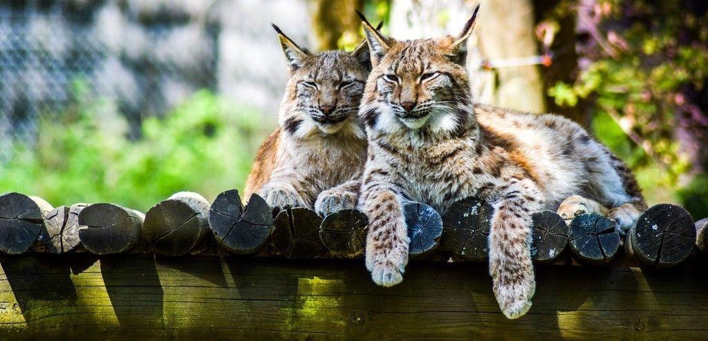 Cute Wild Cats Lynx Wallpaper Animals Wild Cats Cats