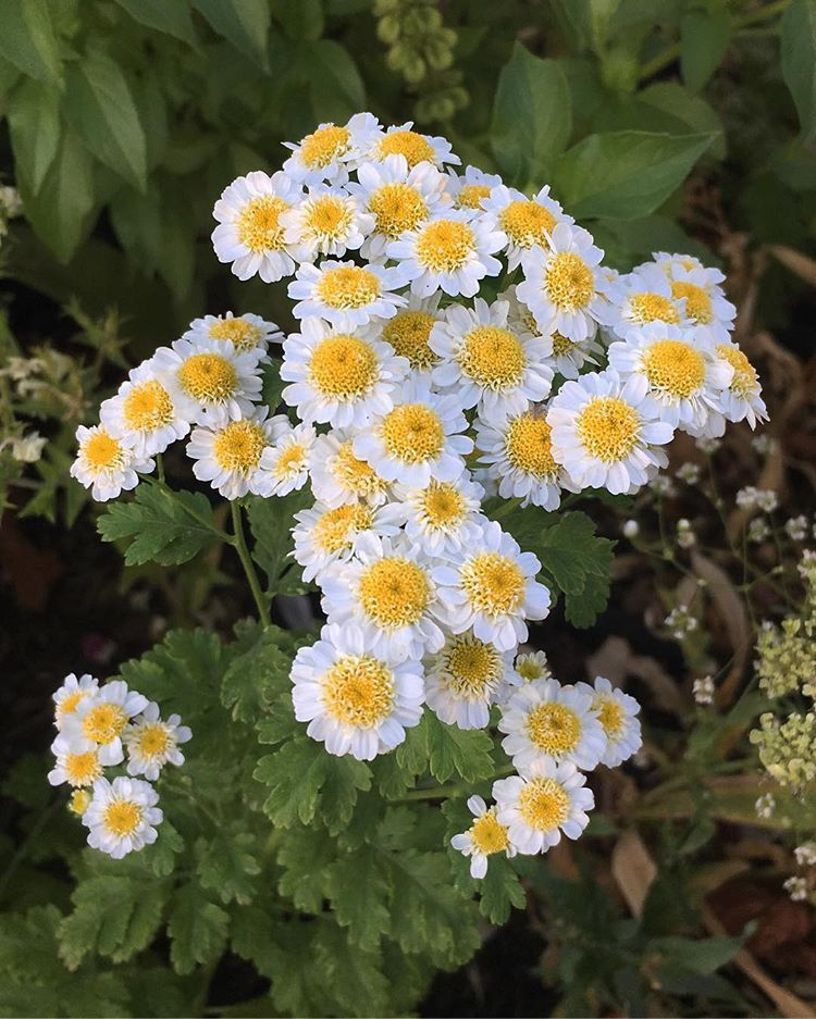 Feverfew Is A Great Plant That I Will Be Growing From Seed Again Next Year It Is So Pretty In Bouquets