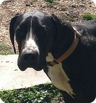 Pin By Saphoona Duste On Adopt Me Great Dane Dogs Dogs Pets
