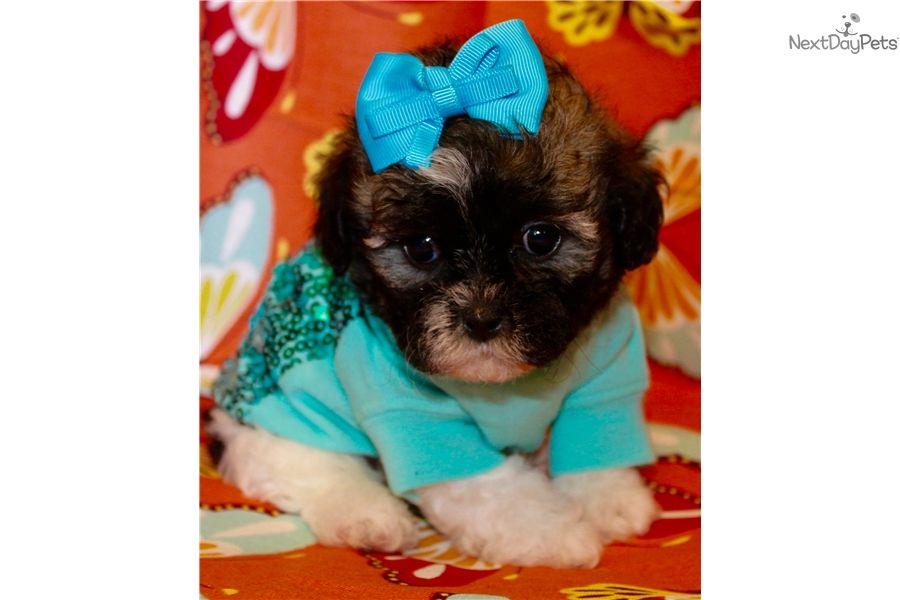Shih Poo Shihpoo Puppy For Sale Near Dallas X2f Fort Worth Texas 97453e54 3e61 Shih Poo Puppies For Sale Poo