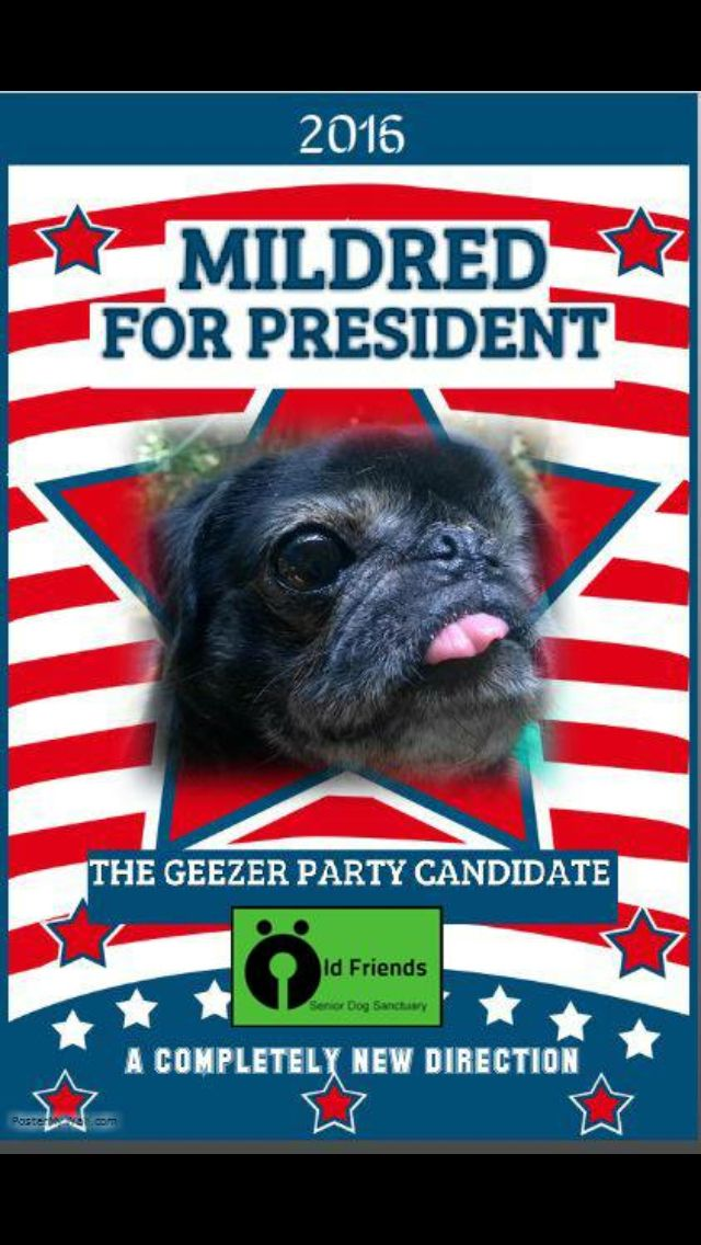 Mildred A Senior Pug For President Why Not Cute Dogs Pugs