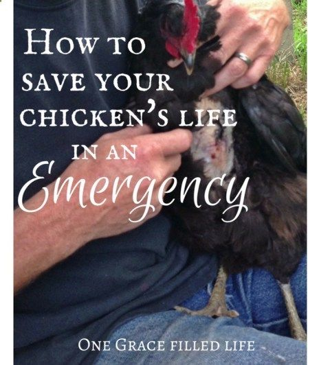 How To Save Your Chicken's Life In An Emergency – One Grace Filled Life