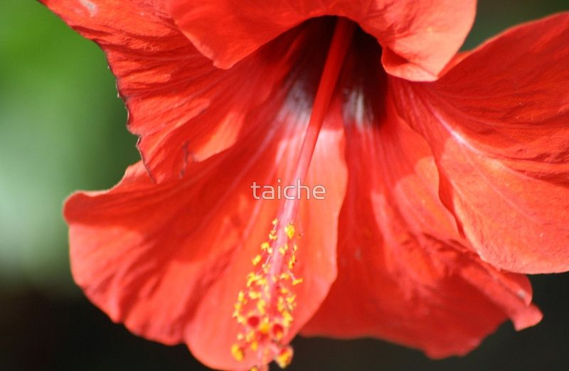 Red Petal and Anther with Pistil of Hibiscus Flower