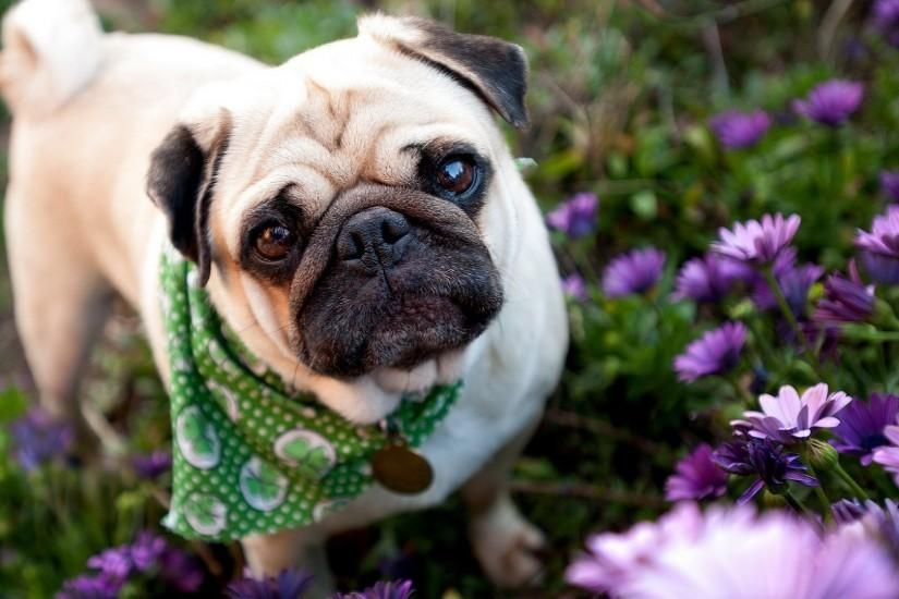 Pug Wallpaper Download Free Hd Backgrounds For Desktop And Mobile Devices In Any Resolution Desktop Android Iphone Ipad 1920x In 2020 Pug Puppies Cute Pugs Pugs