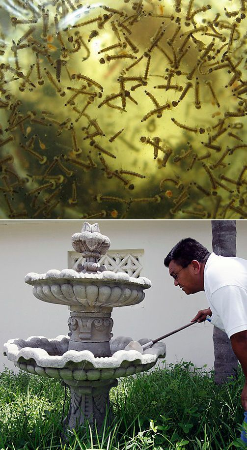 How to stop mosquitoes from breeding in my fountain ...