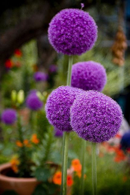 Aliums Allium Flowers Amazing Flowers Hydrangea Care