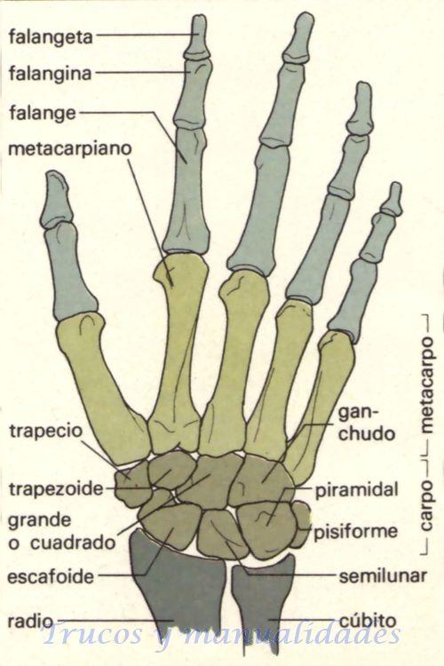 Las partes de la mano son: la muñeca, la palma y los cinco dedos. La ...