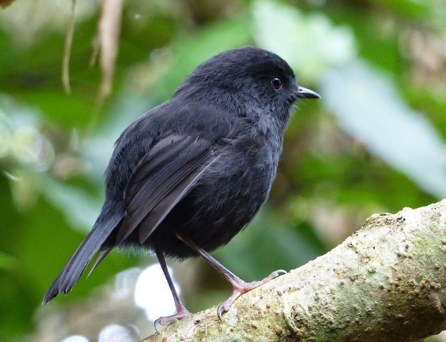 Black robin pictures — pic 1