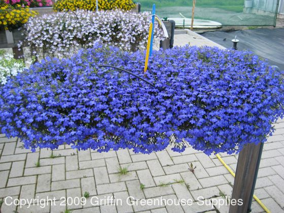 Lobelia Techno Blue Landscaping Garden Plants Yard