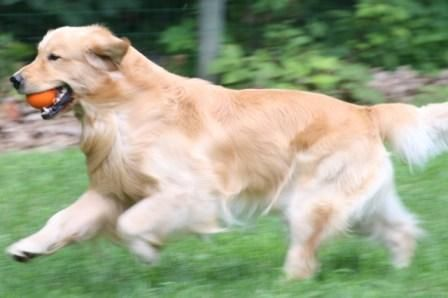 New Hampshire Naturally Thornelea Golden Retrievers Pelham New