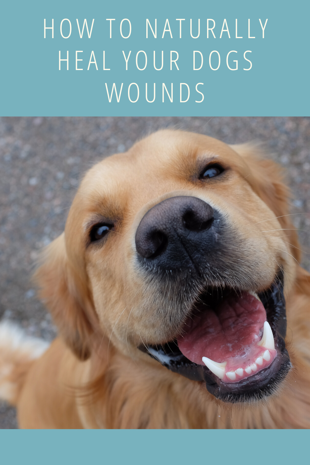 How To Naturally Heal Your Dogs Wounds Dog Wound Your Dog Dogs