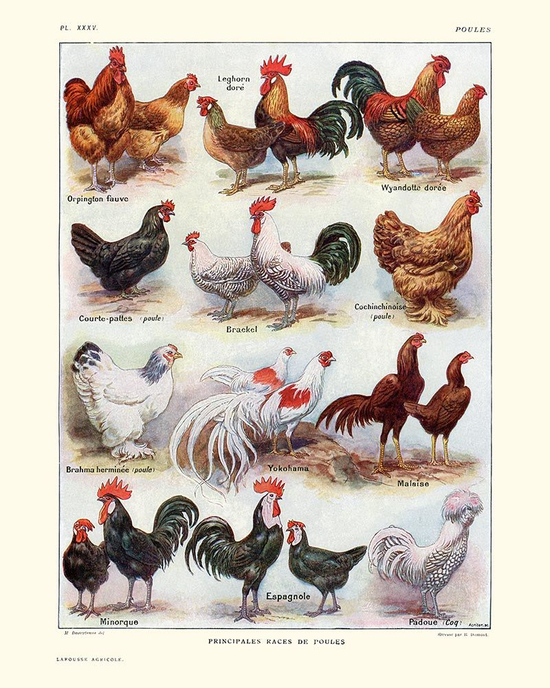 chickens hens and roosters breeds vintage print hens and animal