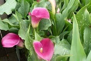 10 Beautiful But Poisonous Plants In 2020 Poisonous Plants Plants Calla Lily