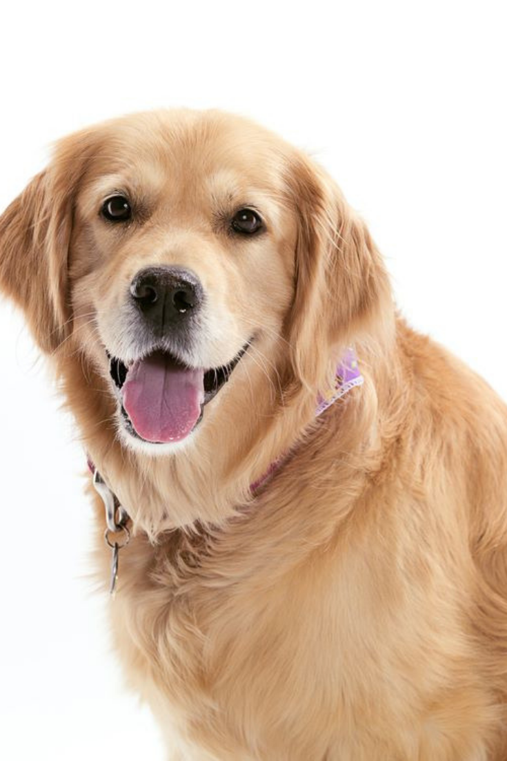 Cool Golden Retriever With Scarf Isolated On White Background Goldenretriever Golden Retriever Retriever Pets