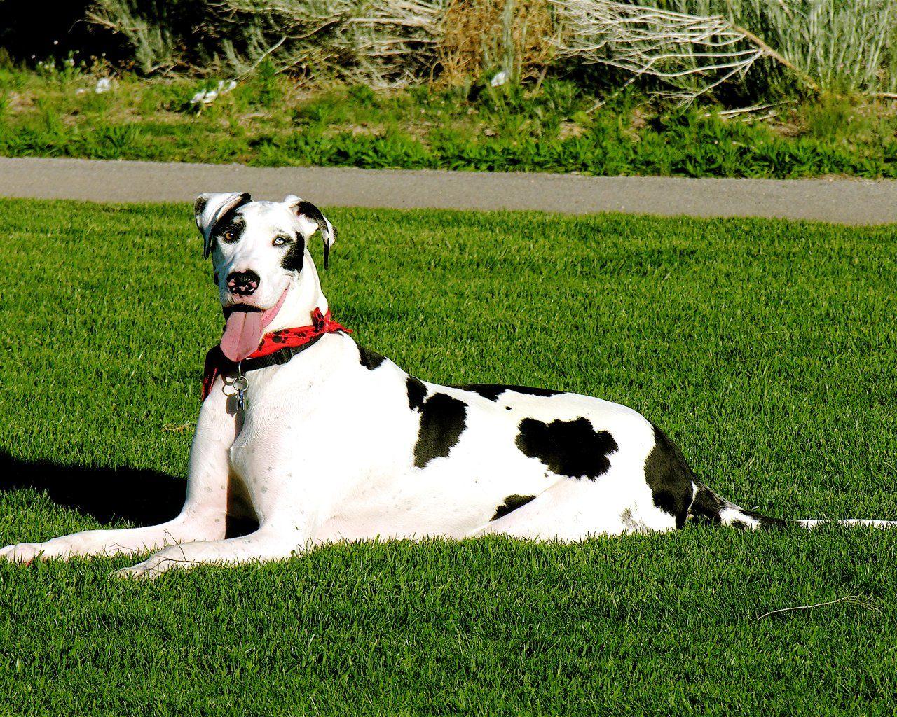 Great Dane Dogs And Puppies Great Dane Wallpaper Great Dane