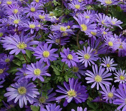 Anemone Blanda Blue Shades White Flower Farm Shade Flowers White Flower Farm Plants