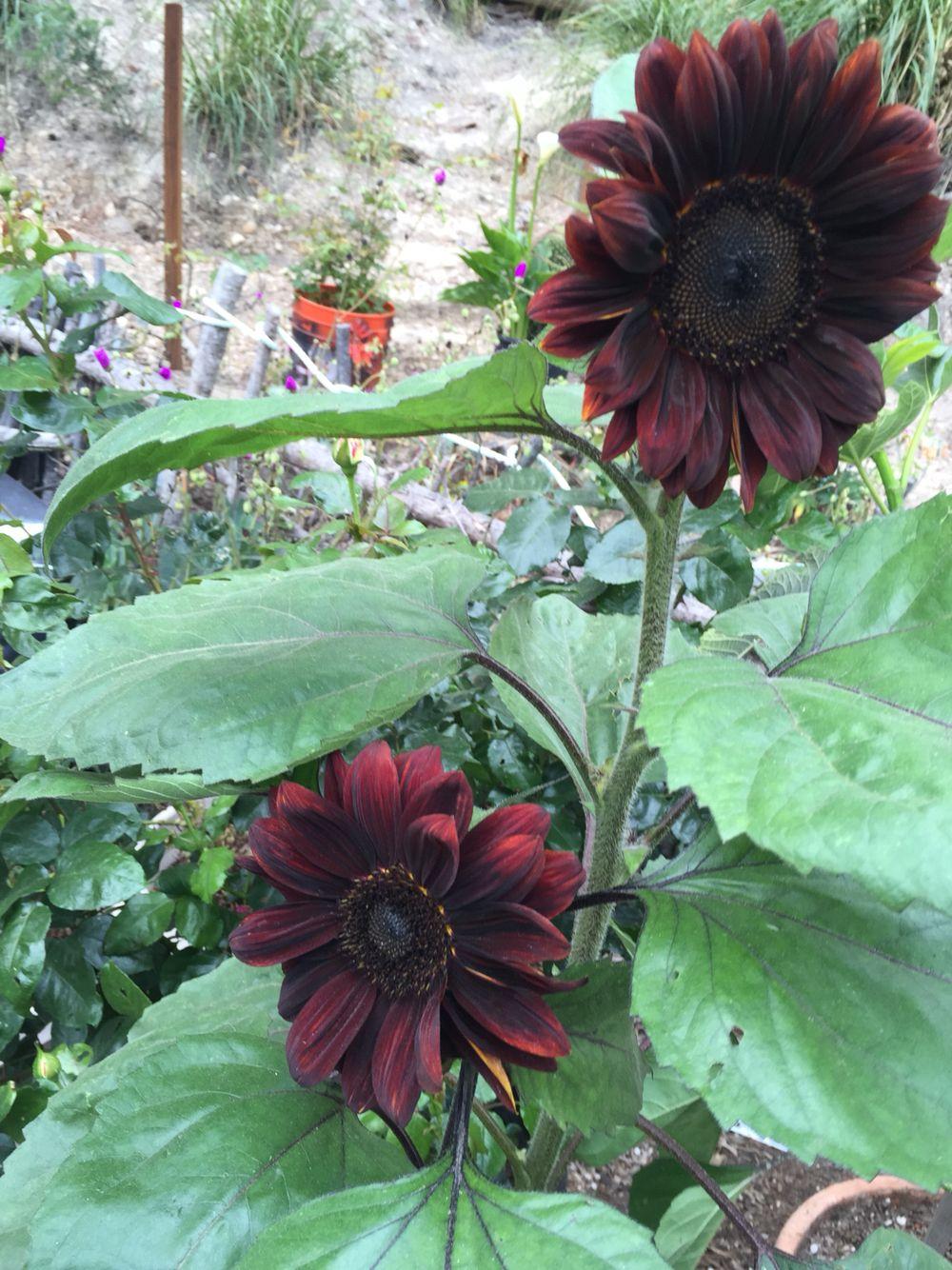 #chocolatessunflower