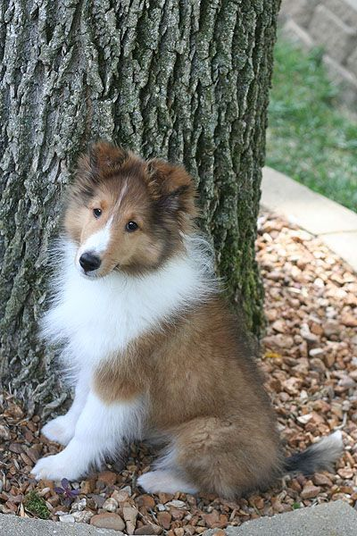 Pin By Maggie Meares On Beautiful Animals In 2020 Puppies Shetland Sheepdog Sheltie Dogs