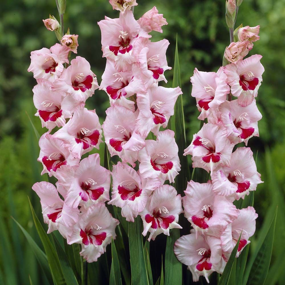 March And April Are The Best Time For Planting Gladiolus Corms Description From Vanmeuwen Com I Searched For This Gladiolus Flower Lily Seeds Gladiolus Bulbs
