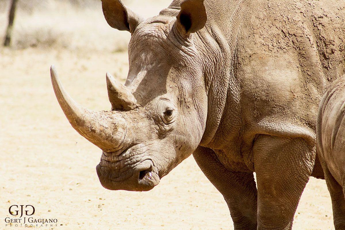 Save the Rhino. Wildlife photo taken at Dronfield Nature Reserve outside Kimberley. #rhino #wildlife #nature #photography #gertjgagiano