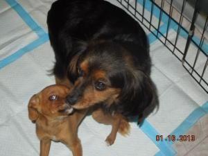 Please Help Truffles Hw Positive Is An Adoptable Cavalier King