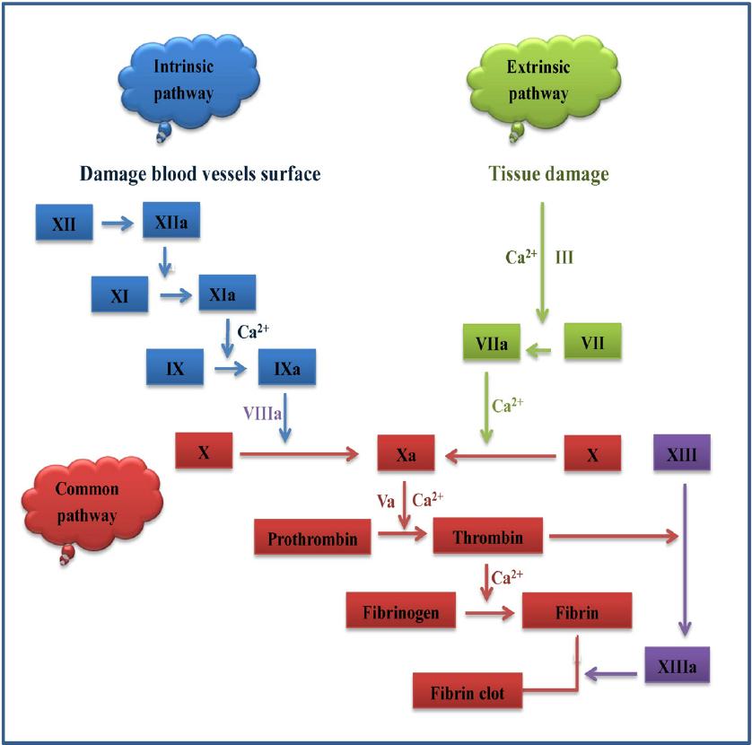 Stem Academy Pre Nursing Pathway: Fig. 1. Schematic Of The Coagulation Cascade. Activation