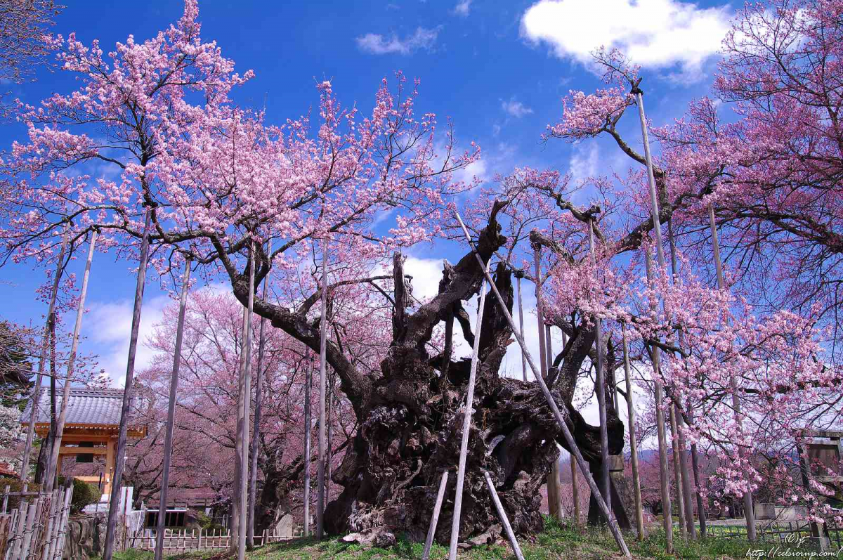 The 3 Great Cherry Trees of Japan | Japanese cherry tree, Cherry ...