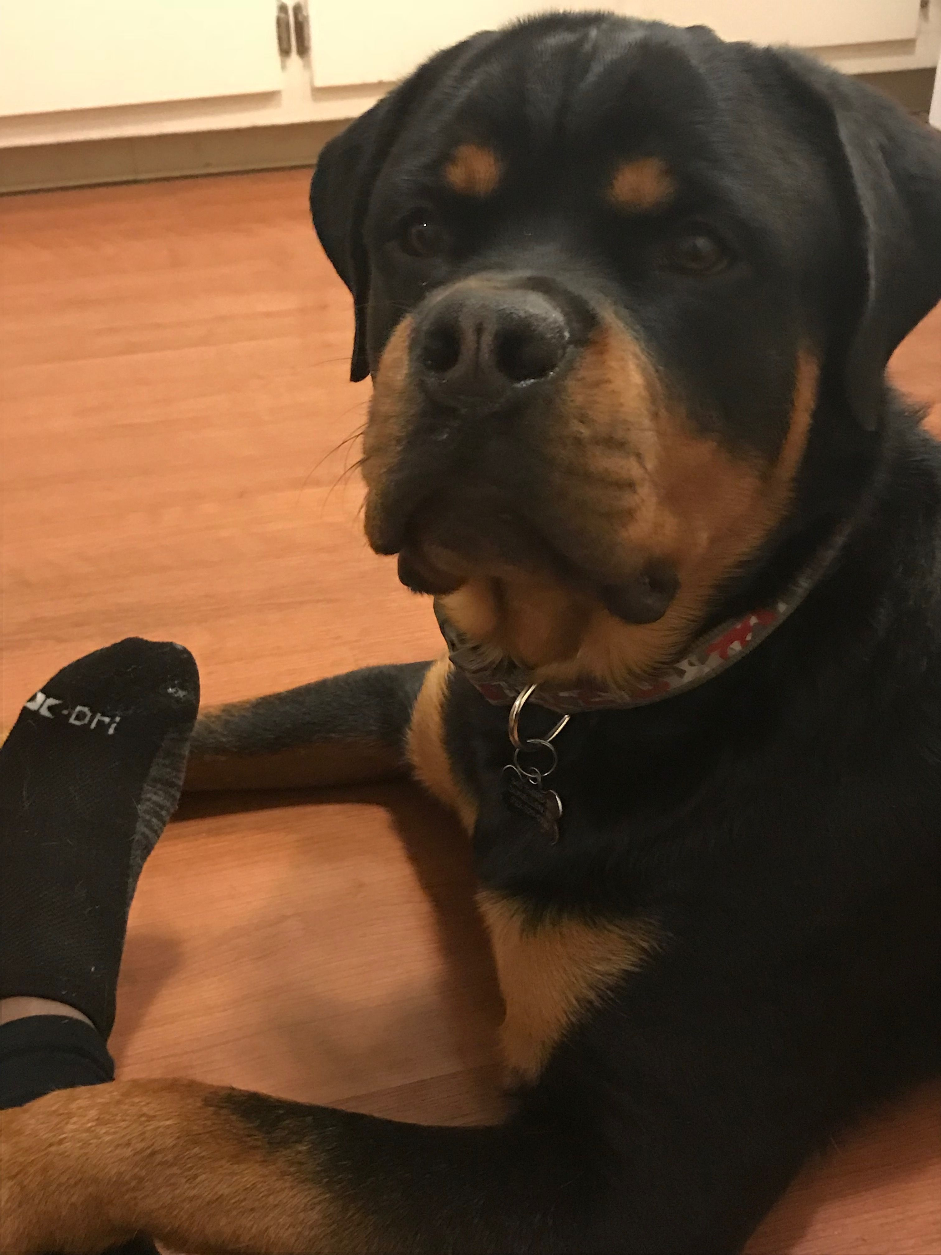 Yes! I know I'm in charge when you're gone! 💞 Rottweiler