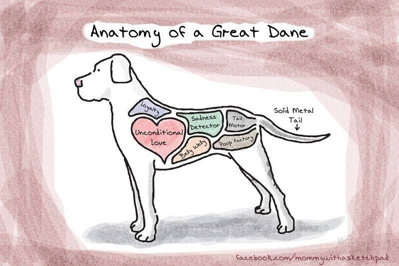 This Would Be The Anatomy Of A Great Dane And Fits Totally Right