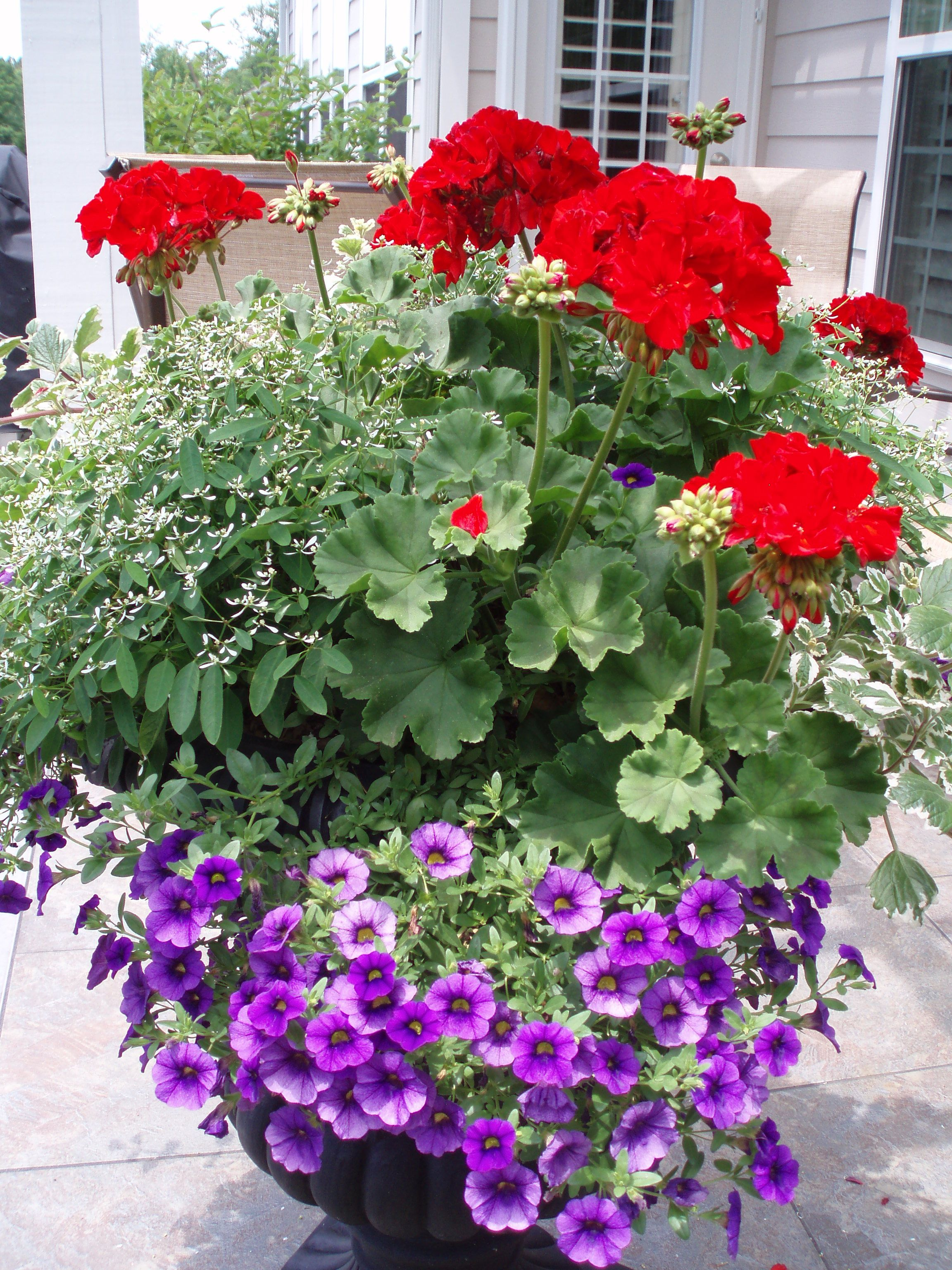 Who Says Geraniums Are Old Fashioned Flowers Here In This