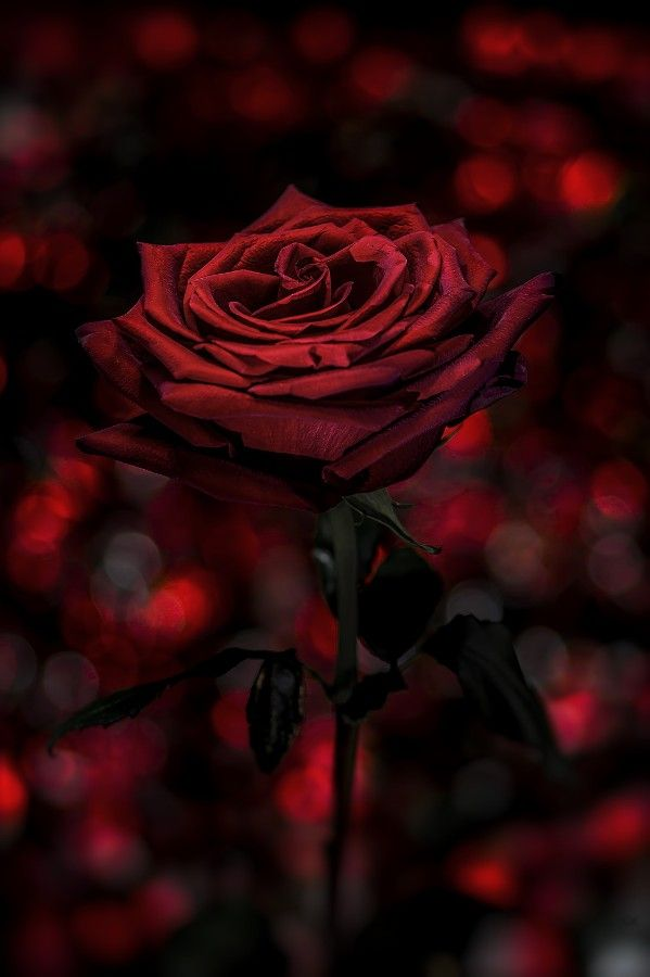 Red Passion By Nasser Osman 500px Red Roses Beautiful Roses Red Flowers