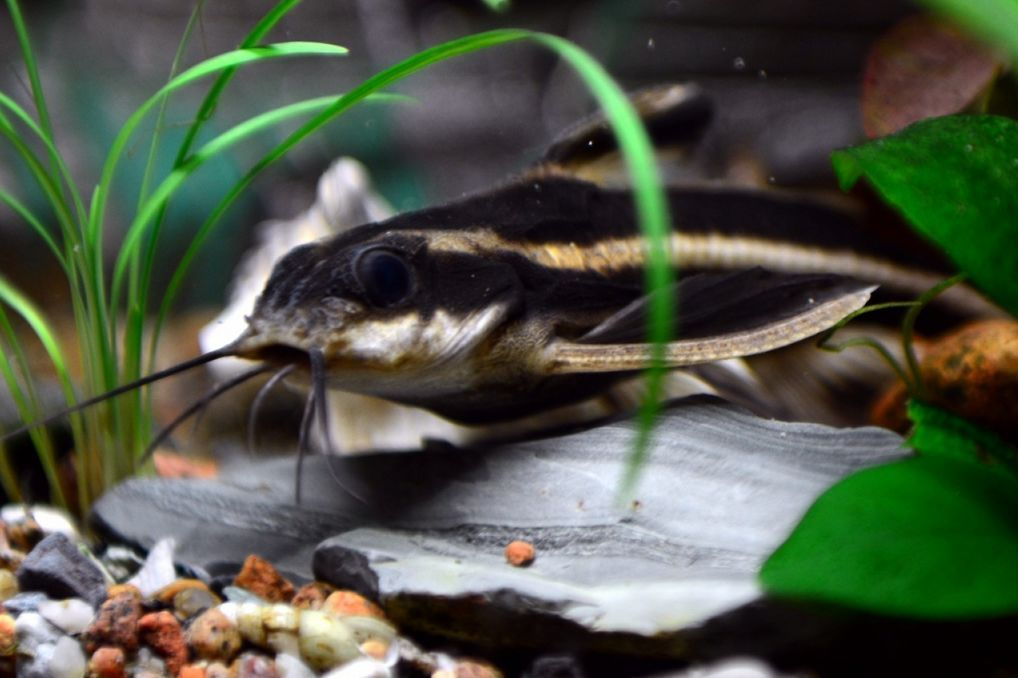 Striped Raphael Catfish Care Size Lifespan Tankmates Feeding Catfish Tank Catfish Fish Pet