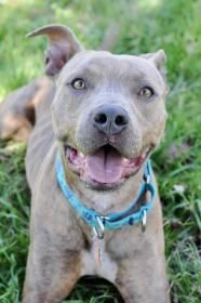 Use Petfinder To Find Your Next Pet Pitbull Terrier Pitbulls
