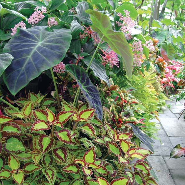Tropical Plants - Hosta, coleus, zebra banana, Medinilla shrub, Angel's trumpet - Cincinnati