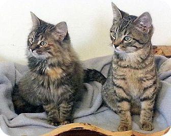 Westampton Nj Domestic Longhair Meet Petvalu Kittens A