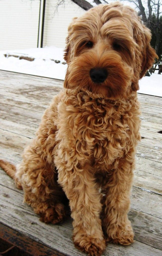 Miracle Ranch Specializes In Sales Of Labradoodle Puppies In