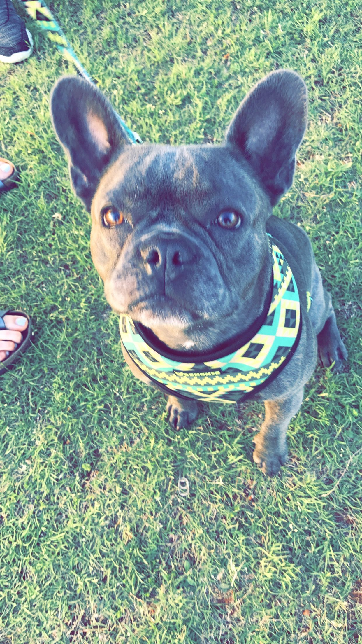 French Bulldog Puppies For Sale In Panama City Fl Ideas