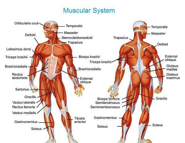 Human Anatomy Diagram Muscular System Temporalis Masseter Trapezius
