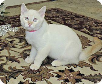 Siamese Kitten For Adoption In Canon City Colorado Leah Kitten Adoption Kittens Pet Adoption
